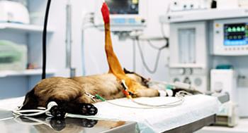 Clinica-Cirurgica-em-Pequenos-Animais