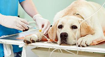 Cuidados-clinicos-no-pos-operatorio-de-caes-e-gatos